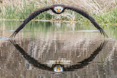 Interview: Incredible Split-Second Photo of Bald Eagle with Symmetrical Reflection