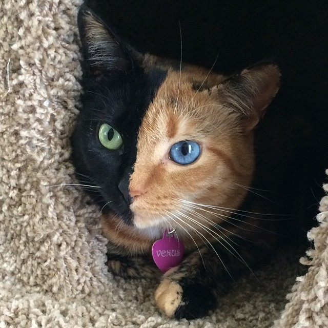 Chimera Cat Has a Beautifully Striking Two-Toned Face