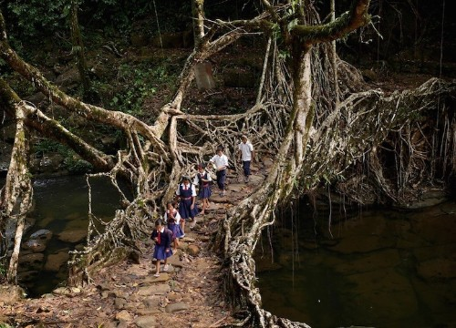 India's Fascinating Tree Root Bridges Grow Stronger Every Year