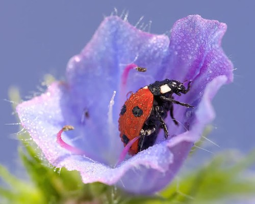 Enchanting Macro Photos of Wet Ladybugs by Tomasz Skoczen