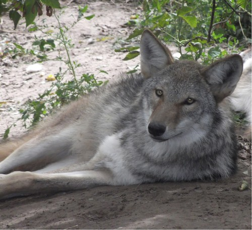 Meet the Coywolf, a Coyote and Wolf Hybrid with a Growing Population