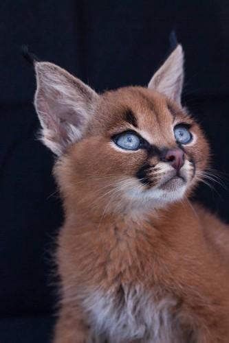 Adorable Caracal Kittens Grow Into Elegant Wild Cats That Roam the African Savanna