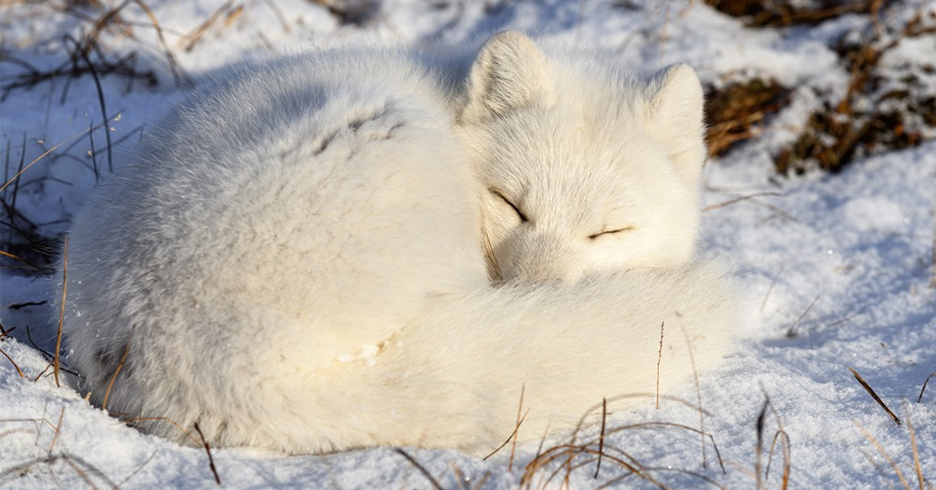 Learn How to Draw a Sleeping Arctic Fox in 9 Steps