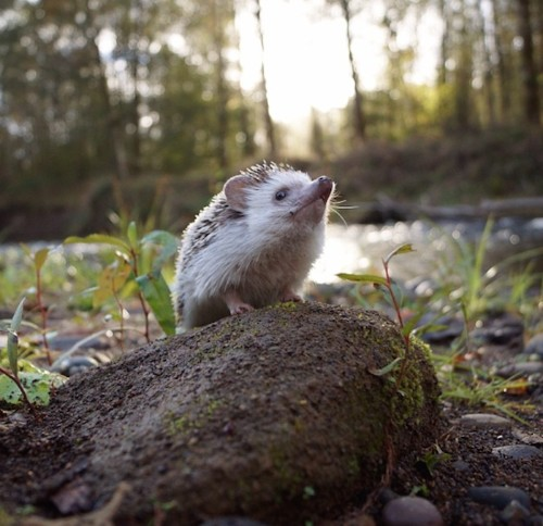 Adorable Traveling Hedgehog Explores the Great Outdoors