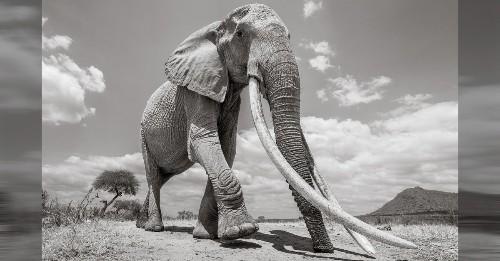"""Wildlife Photographer Captures the Last Photos of the """"Queen of Elephants"""" in Kenya"""
