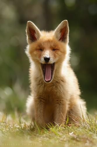 Heartwarming Photos of Adorable Baby Foxes