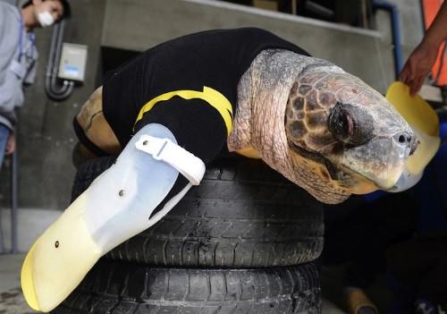 Injured Loggerhead Turtle Gets New Prosthetic Flippers