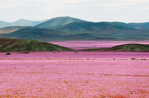 Weather Phenomenon Causes One of the Driest Deserts to Burst into a Vibrant Flowery Field