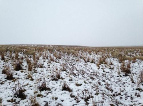 Canadian Farmer Finds Her Flock of 550 Sheep Hidden in Plain Sight