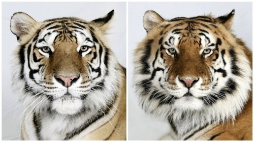Captivating Close-Up Portraits of Rare Bengal Tigers