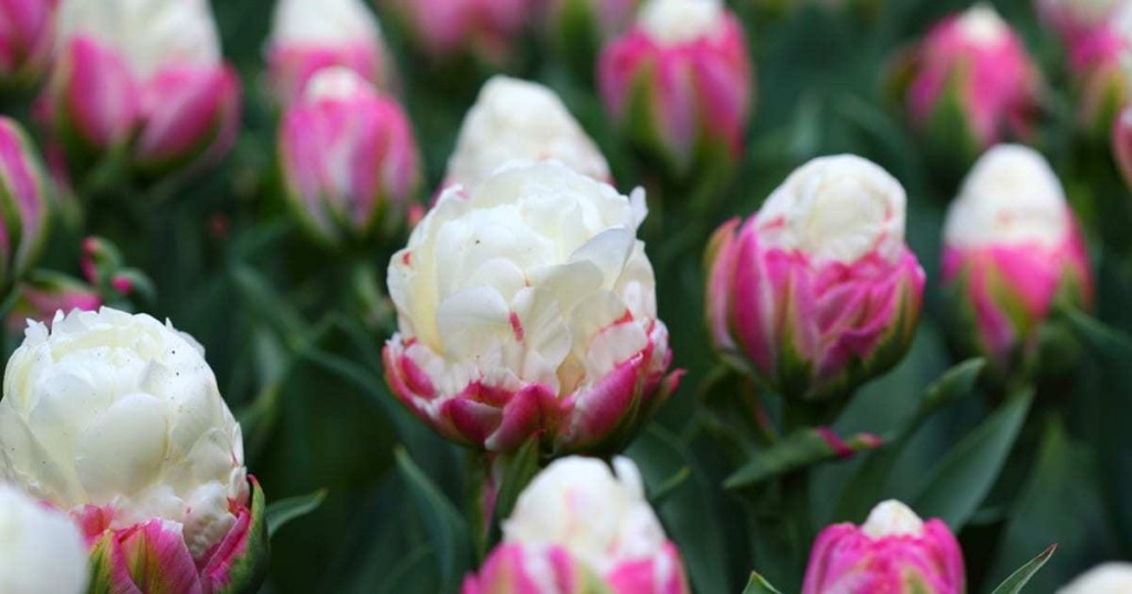 Delightful 'Ice Cream Tulips' Look Like the Refreshing Sweet Treat in a Pink Bowl