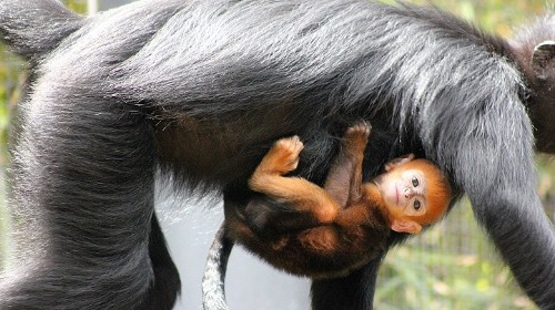 Adorable and Rare Orange Monkey Is Born in Sydney