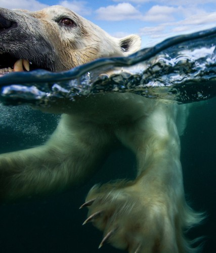 Extremely Intimate Portraits of Polar Bears Swimming