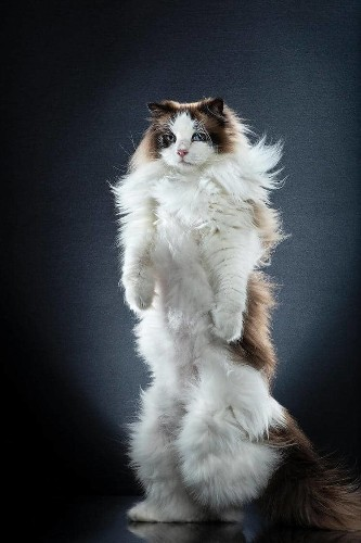20+ Purrfect Portraits of Fabulous Felines Standing on Two Legs
