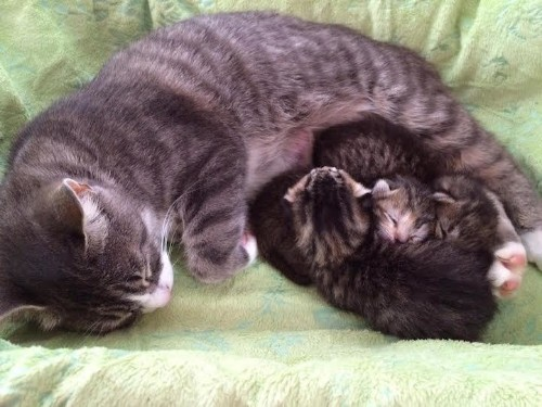 Heartbroken Mother Cat that Lost Three Babies Forms Loving Bond with Three Orphaned Newborn Kittens
