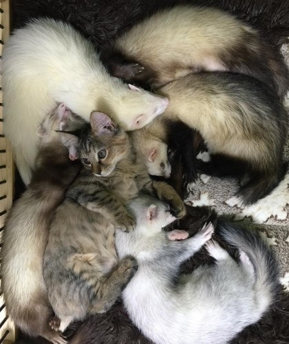 "Rescue Kitten Grows Up Acting Like Her Five Ferret ""Brothers"""