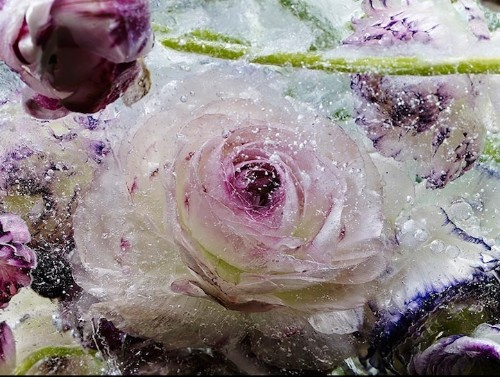 Frozen Flowers Melt Away Dramatically in Blocks of Ice