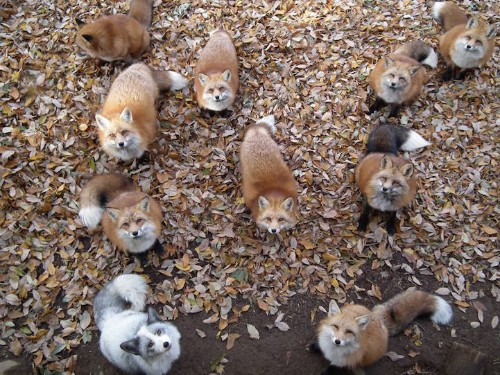 Zao Fox Village, a Sanctuary in Japan Where Foxes Roam Freely