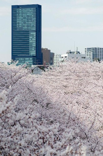 Spectacular Spring Photos of Cherry Blossoms in Japan