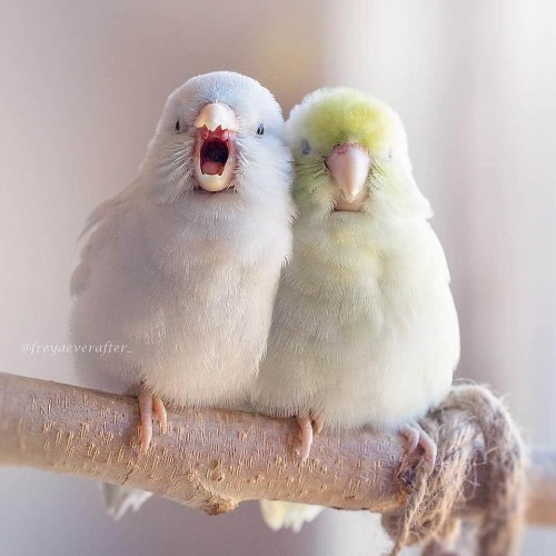 Dreamy Photos Capture the Storybook Love Between Pastel Parrotlet Birds