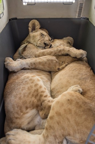Inseparable Lion Cub Siblings Cuddle on Journey to Safety