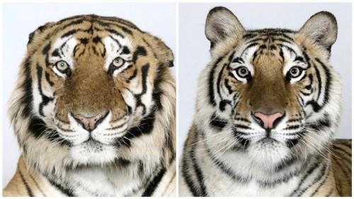 Captivating Close-Up Portraits of Rare Bengal Tigers