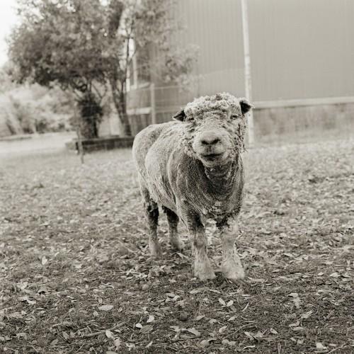 Poderosos retratos de animales de granja que fueron rescatados y pudieron llegar a la vejez