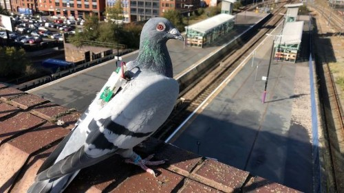 Carrier Pigeons Wearing Backpacks Help Scientists Collect Climate Data