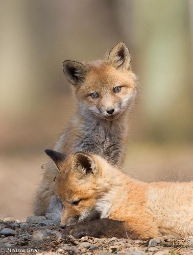 Photographer Spends a Season Watching an Adorable Family of Red Foxes Grow Up