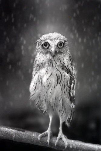 The Saddest Looking Owl in the World