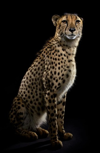 Striking Photos Showcase the Elegant Beauty of Big Cats