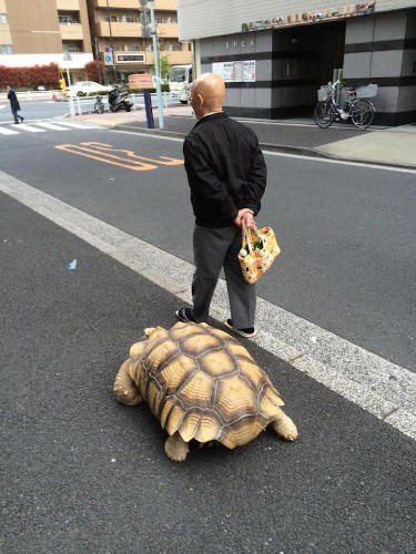 Man Takes His Giant Pet Tortoise out for a Stroll through the Streets of Tokyo