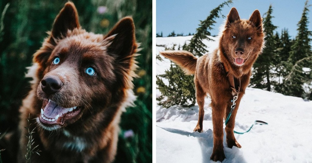 This Rare, Chocolate Brown Siberian Husky Is One of the Most Beautiful Dogs on Instagram