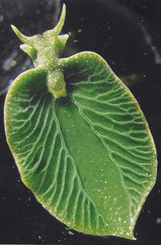 Solar-Powered Sea Slugs: The Rare Organisms with Plant-Like Qualities