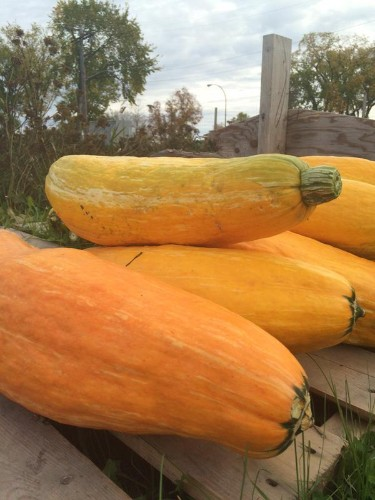800-Year-Old Ancient Extinct Squash Uncovered During Archeological Dig on Menominee Indian Reservation