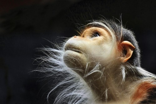 15 Fascinating Photos of Monkeys Deep in Thought