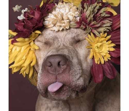 Interview: Photographer Helps Save Lives of Pit Bulls With Adorable Flower Crown Portraits
