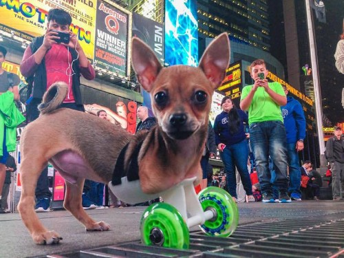 Two-Legged Chihuahua Travels Using a 3D-Printed Cart and Wheels