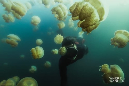 Adventure Photographer Swims With Millions of Jellyfish