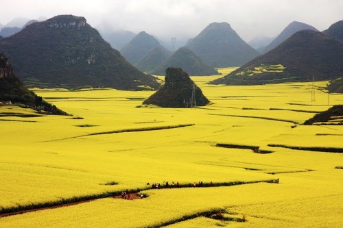 Spectacular Ocean of Flowers in Luoping, China
