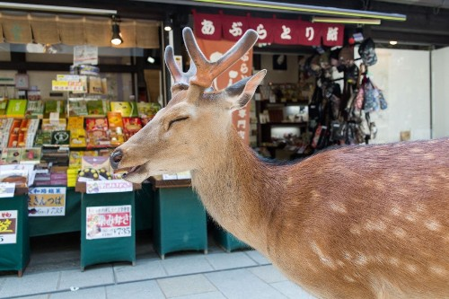 Photographer Documents Wild Deer Freely Roaming the City Streets of Nara, Japan