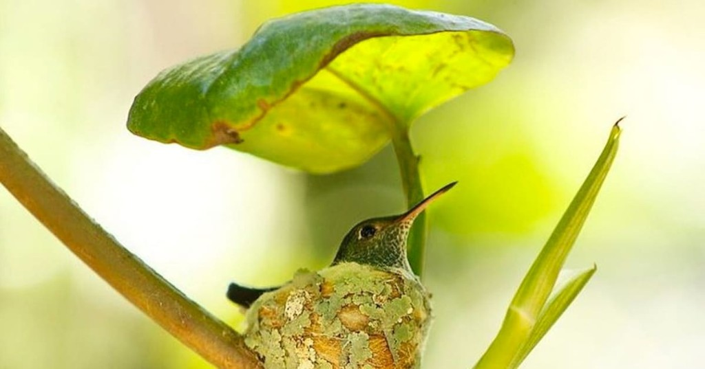 Clever Hummingbird Builds a Nest Complete With a Giant Leaf Roof