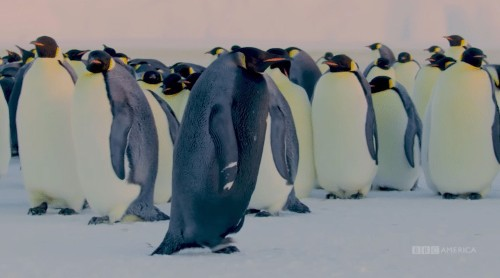 Extremely Rare Black Emperor Penguin Captured on Film for the First Time