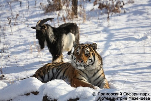 Tiger Is Still Friends with Goat Who Was Given to Him as Live Food Months Ago