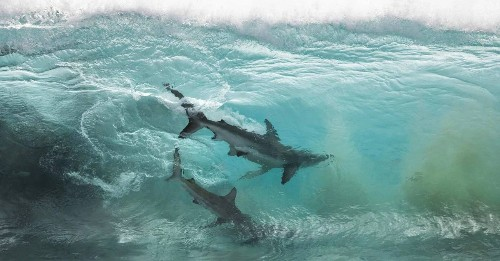 Photographer Captures Amazing Shot of Two Sharks Caught Inside a Glassy Wave