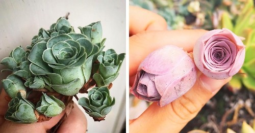 You Can Grow Succulents That Look Like Tiny Blossoming Roses