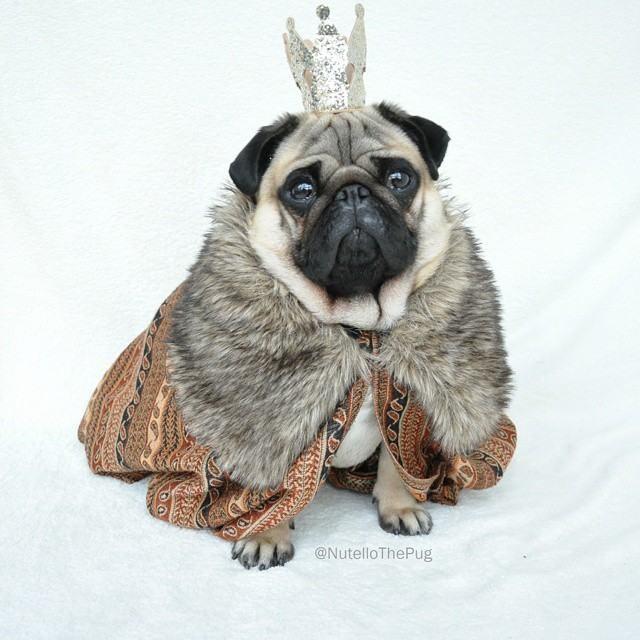 Nutello the Fashionable Pug Has an Amazingly Stylish Wardrobe