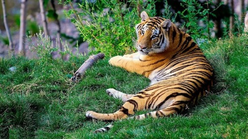 Nepal Doubles Tiger Population Thanks to Committed Conservation Efforts