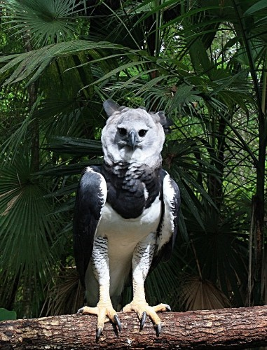 Meet the Harpy Eagle, the Largest Eagles in the World with Giant Talons