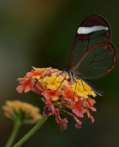 Incredible Photos of the Beautiful Glasswinged Butterfly